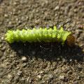 オオミズアオ幼虫 11/1 Km
