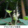 アカメガシワ雄花  6/24  Km