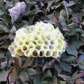 キボシアシナガバチの巣