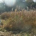 刈り残っていたヨシ原の刈り取り