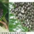 ヤマギシモリノキモグリバエの集団越冬 12/24 Km 椿の葉につく