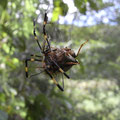 ツクツクボウシを食べるジョロウグモ