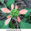 ショウジョウソウ   9/5 帰化植物 苞葉が赤くなる