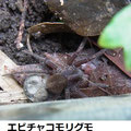 エビチャコモリグモ 卵のう付ける  5/10  Km