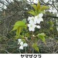ヤマザクラ開花 3/24