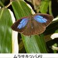ムラサキツバメ♀ 12/23 Km