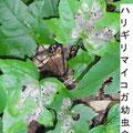 ハリギリマイコガ幼虫食痕 7/22 Km