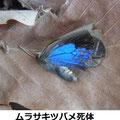 ムラサキツバメ死体 1/25 越冬個体