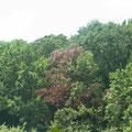 対岸より見える、枯れたコナラの枝