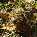 カヤネズミの古巣 12/9 巣の底に木の葉が見える