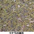 コナラの雄花 4/4 新芽時、纏まって落下し地上を覆う