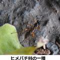 ヒメバチ科の一種 1/2 脚の色、産卵管の長さ、翅模様から ヒメキアシヒラタヒメバチ♀かも