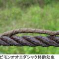 トビモンオオエダシャク終齢幼虫 7/22 Km