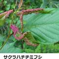 サクラハチヂミフシ 4/29 Km サクラコブアブラムシによる虫こぶ、ヤマザクラ