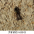アオオビハエトリ 3/1 蟻を獲る