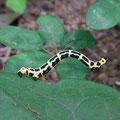 トンボエダシャク 幼虫 (Km)