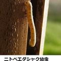 ニトベエダシャク幼虫 4/21