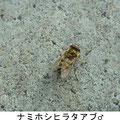 ナミホシヒラタアブ♂ 3/25 Km