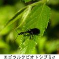 エゴツルクビオトシブミ♂ 7/12