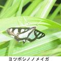 ヨツボシノノメイガ 6/22