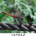リスアカネ♂ 9/12