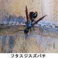 フタスジスズバチ 7/27 枯れた竹に穴をあけて出入りする