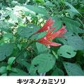 キツネノカミソリ 8/18 谷戸内では色が濃い(陽が当たる)