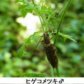 ヒゲコメツキ♂    5/17
