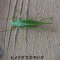 ヒメクダマキモドキ   11/23   Km
