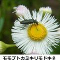 モモブトカミキリモドキ♀ 4/29