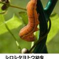 シロシタヨトウ幼虫 10/25