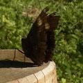 翅が傷んだルリタテハ