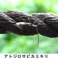 アトジロサビカミキリ 7/18