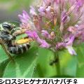 シロスジヒゲナガハナバチ♀ 5/26 Km