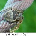 キザハシオニグモ♀ 5/4 Km
