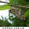 ツマグロヒョウモン♂ 7/18