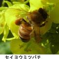 セイヨウミツバチ 2/21 暖かく菜の花に来る