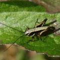 ヒメギス幼虫 (Km)
