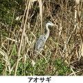 アオサギ 2/19 谷戸最奥部湿地に飛来