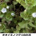 オオイヌノフグリ 3/24 除草剤で花が白化