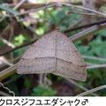 クロスジフユエダシャク♂ 12/11 ♀を求めて林床を飛翔