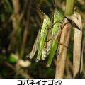 コバネイナゴ♂♀ 10/10 交尾