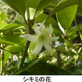シキミの花 2/25 毒性