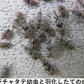 スジチャタテ幼虫、羽化したての成虫 5/28  Km