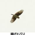 ヒバリ 3/12 上空で囀る 川崎市 U