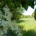 ミズキの花