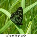 ゴマダラチョウ 5/20