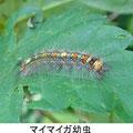 マイマイガ幼虫 5/25 Km