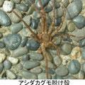 アシダカグモ脱け殻 9/8