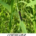 ハラビロトンボ♂ 5/7  未成熟